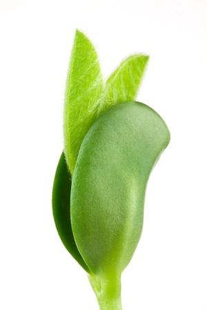 seeding: Soybean seeding isolated on white background