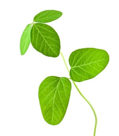 De soja frais des feuilles isolées sur fond blanc