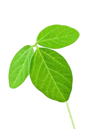 Fresh soy leaves isolated on white Stok Fotoğraf
