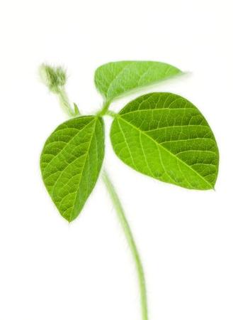 soya: Fresh soy leaves isolated on white Stock Photo