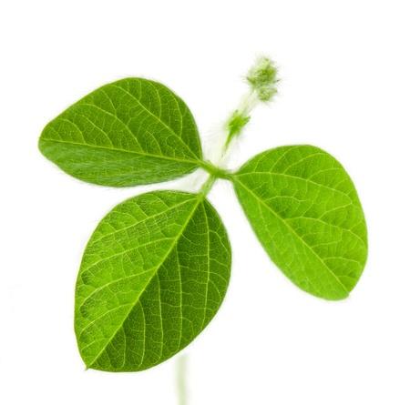 soja: De soja frais des feuilles isol�es sur fond blanc