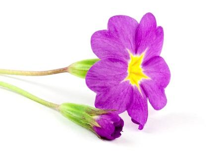 Primula flower isolated on white background Stock Photo - 13159011