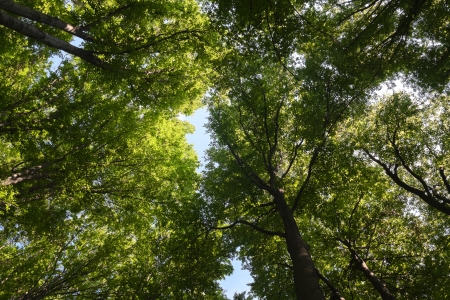 tree canopy: Birch Tree Canopy