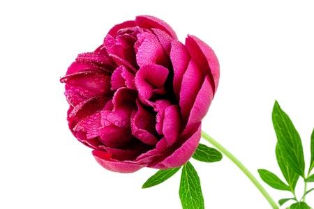 Peony flower isolated on white background Stock Photo - 13843751