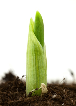 farming tools: Seedling of garlic on a white background
