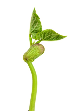 conceiving: Seedling beans on white background