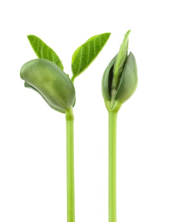 planta de frijol: Pequeña planta de soja sobre un fondo blanco