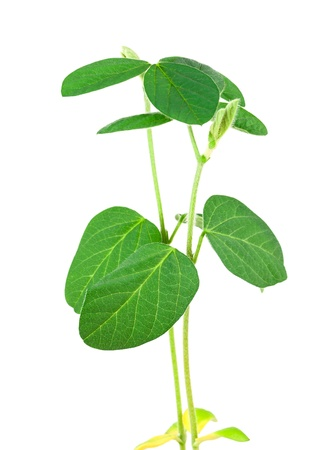 Soy plant isolated on white background Stok Fotoğraf