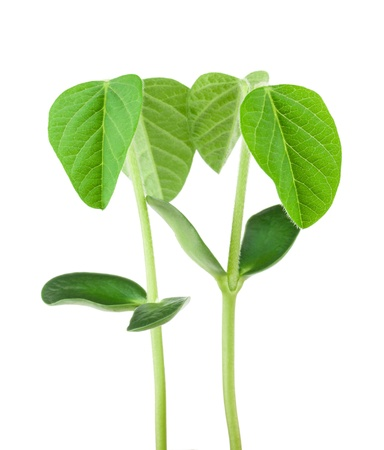 soybeans: Two soy plants isolated on white background Stock Photo