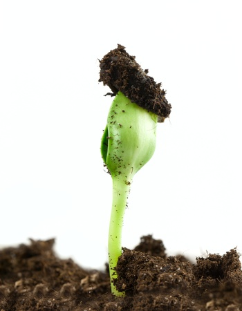 Small sunflower seeding in firt day of life Stock Photo - 17184312