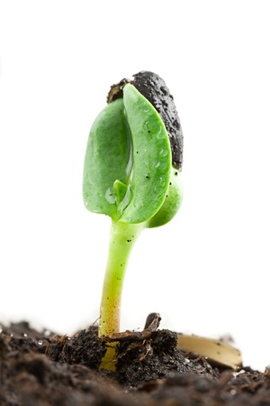 Small sunflower seeding in firt day of life Stock Photo - 17184298