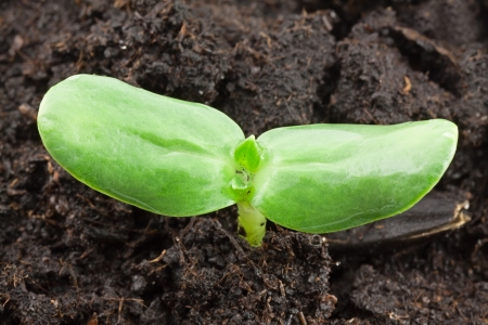 Small sunflower seeding in firt day of life Stock Photo - 17184315