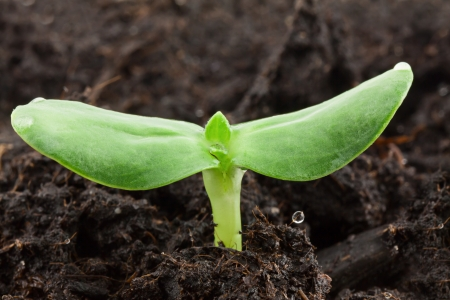Small sunflower seeding in firt day of life Stock Photo - 17184318