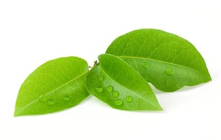 green leaf: Laurus leaf isolated on white background Stock Photo