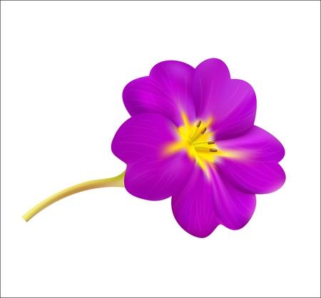 rosy: Violet spring flower  Vector illustration  Illustration