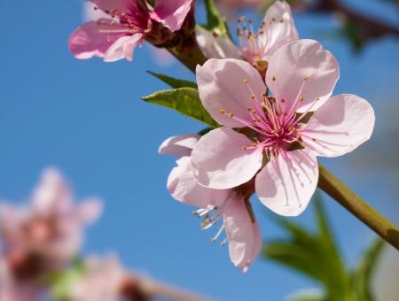 flor de durazno: Flor de durazno en el día soleado.