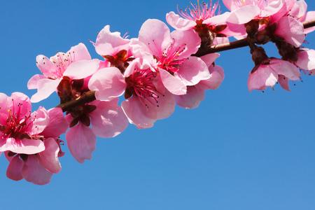 Peach blossom over blue sky Stockfoto
