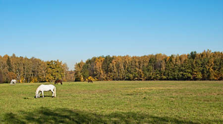grazed: The horses grazed on a meadow on a background of a grove and the sky Stock Photo