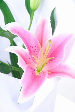 Pink lilly bloom close up .