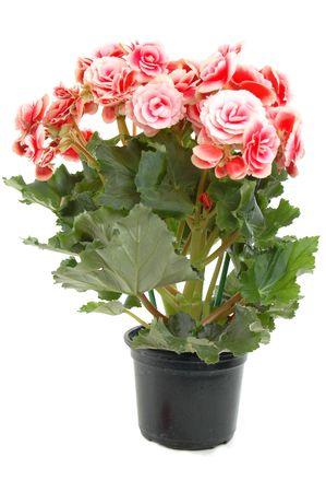 flowering plant: Begonia fioritura delle piante - Begoniaceae. Archivio Fotografico