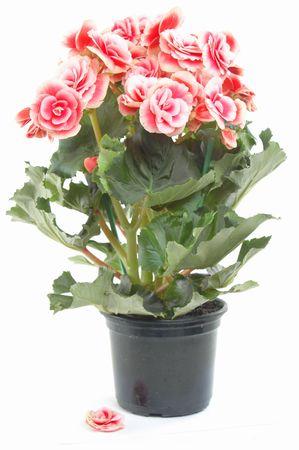 flowering plant: Begonia fioritura delle piante Archivio Fotografico