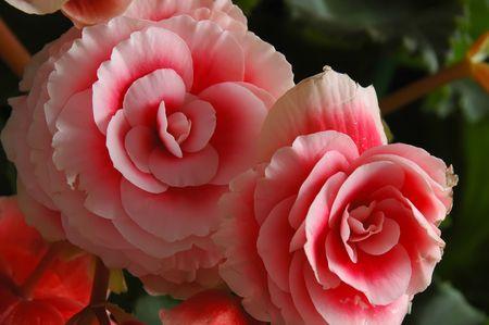 begonia: Begonia floraci�n de plantas - Begoniaceae familia.  Foto de archivo