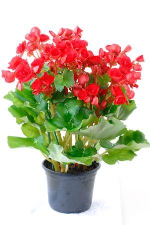 begonia: Red Begonia flower in dark pot on white - Begoniaceae . Stock Photo