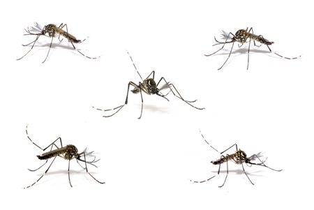 Aedes Aegipty, the Dengue host transmitter . Stock Photo - 3065902