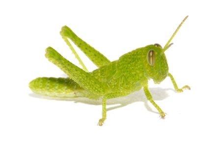 Insect of Green Cricket on white background. Stock Photo - 3173874