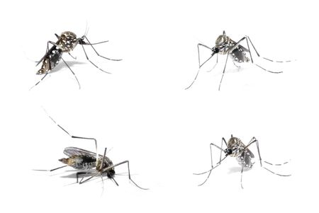 Mosquito of Dengue with blood in the body . Stock Photo