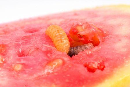 Macro shot of a Guava Worm . photo
