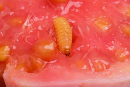 Macro shot of a Guava Worm . photo