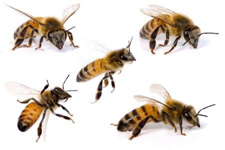 Makro-Aufnahmen von einer Biene auf weißem Hintergrund.
