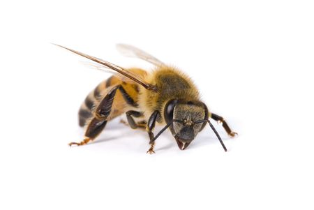 abeja: Macro disparos de una abeja sobre fondo blanco.