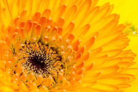 macroshot: Flower - Dahlia flower macro-shot background . Stock Photo