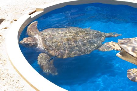 captivity: A Sea turtle swimming in captivity .