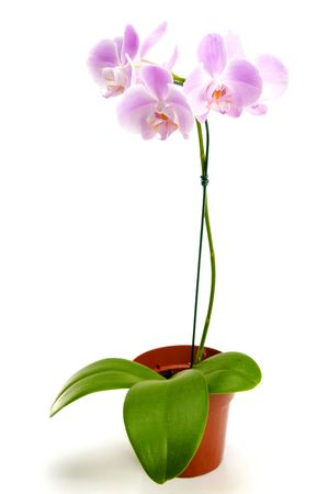 flower pots: Orchid flower in the pot over white background .