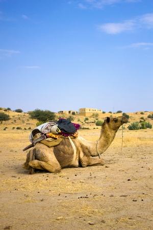 Camel resting in the sand of desert photo
