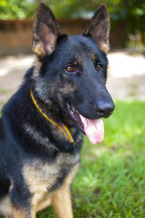 alsation: German shepherd dog