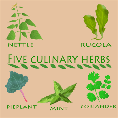 nettle: culinary herbs set. Culinary herbs isolated. Culinary herbs fresh collecton. Culinary herbs background. Culinary herbs illustration. Culinary herbs element. Culinary herbs ingredient set