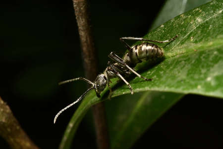 clavata: Conga Ant or Bullet Ant