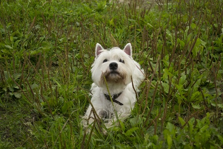 West highland white terrier is looking at sky