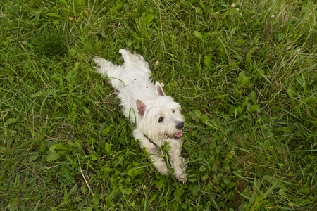 West highland white terrier is lying in grass