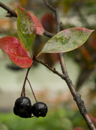 Black ashberry Stock Photo