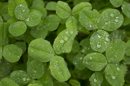 faboideae: Field of clover with dew closeup