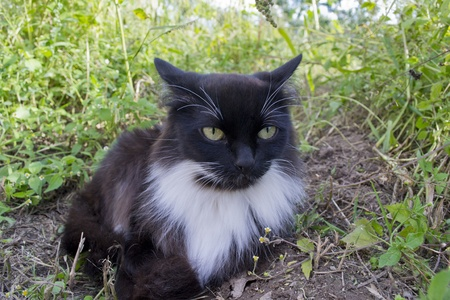Black-and-white cat is sitting in a grass photo