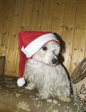 perro asustado: Perro asustado en Navidad gorra en la cabeza