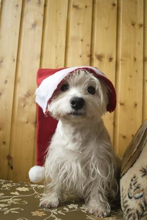 full face of west highland white terrier
