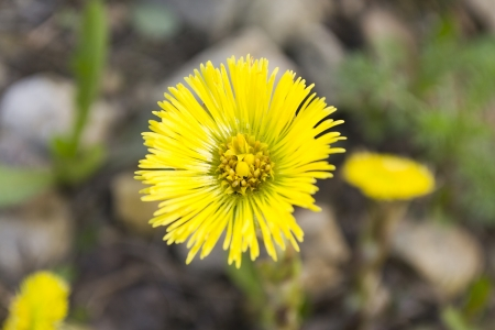 Tussilago farfara L. is a plant in the family Asteraceae. photo