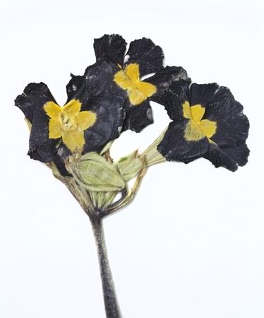 primrose: Dried flower on white background Stock Photo
